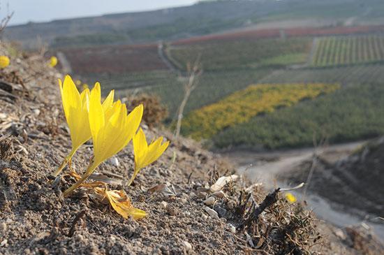 חלמוניות על רקע הכרמים בהר אדמון / צילום: תומר יעקובסון
