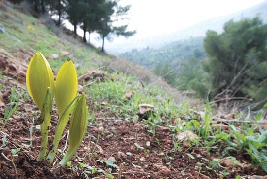 ניצנים ביער ביריה / צילום: תומר יעקובסון