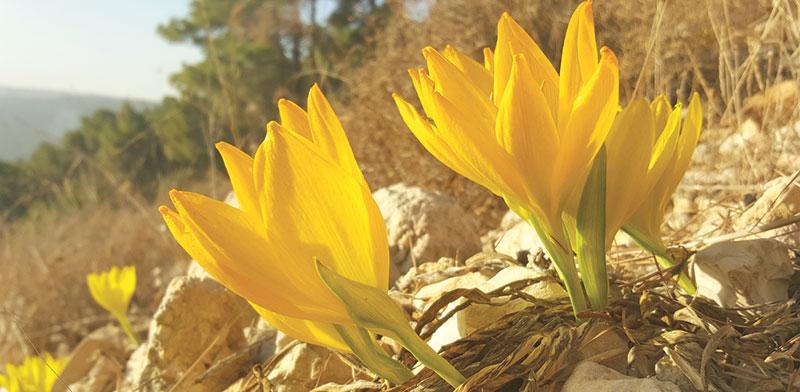 חלמוניות בהר תבור / צילום: תומר יעקובסון