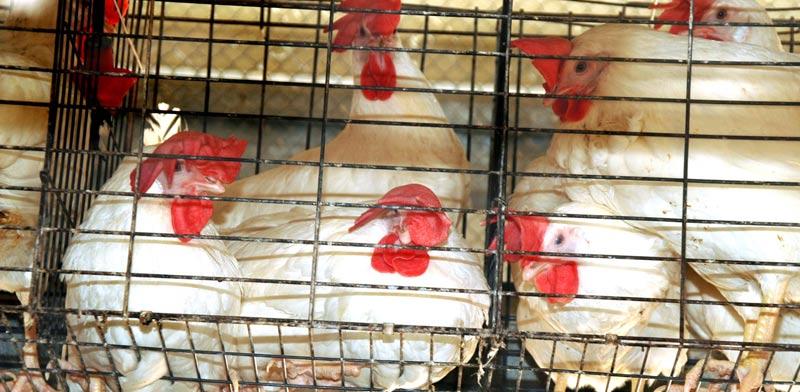 תרנגולות בכלובי סוללה בישראל / צילום: אנונימוס