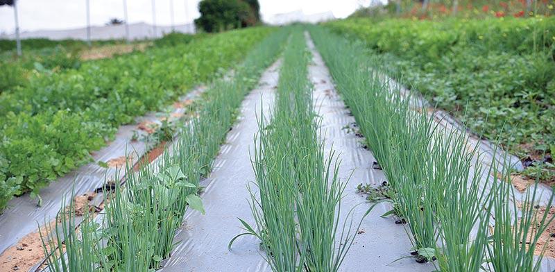 חקלאות ליצוא. השוק האירופי הוצף בתוצרת מקומית / צילום: תמר מצפי