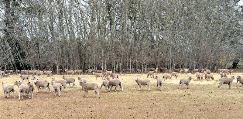 חוות צאן בוויקטוריה / צילום: בלומברג