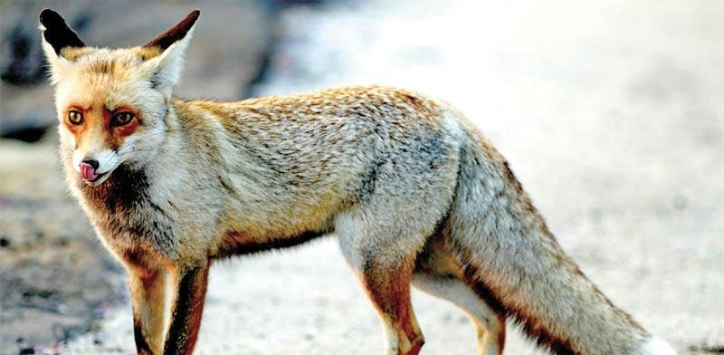 תן החשוד כנגוע בכלבת / צילום: גיל ארבל