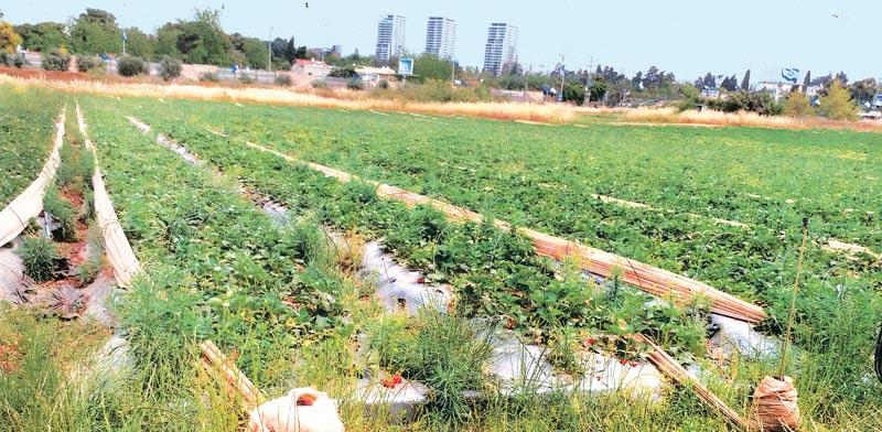 """שדה תותים בכפר אז""""ר /  צילומים: משה ליכטמן"""