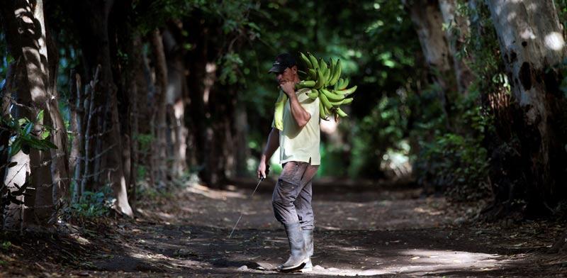מטע בננות  / צילום: רויטרס