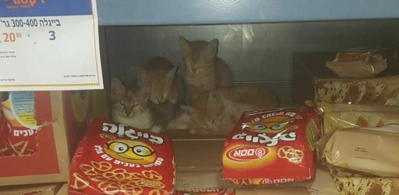 משפחת חתולים תועדה במדפי סניף ויקטורי באלקנה / צילום: מתוך עמוד הפייסבוק של יעל חג׳בי
