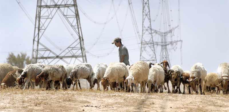 מרעה צאן בנגב צילום: איל יצהר