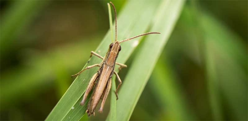 Grasshopper Photo: Shutterstock