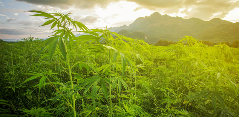 Cannabis field Photo: Shutterstock ASAP Creative