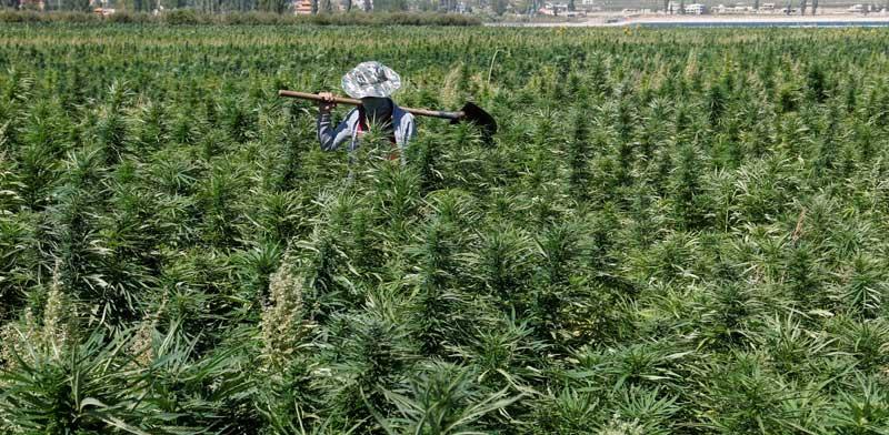 חקלאי לבנוני בשדה קנביס בבקעת הלבנון/ צילום: רויטרס Mohamed Azakir
