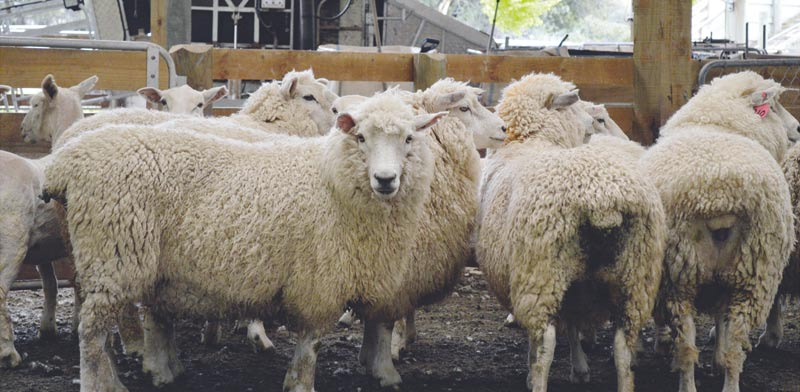 כבשים ניו זילנדיות / צילום: רויטרס, Naomi Tajitsu