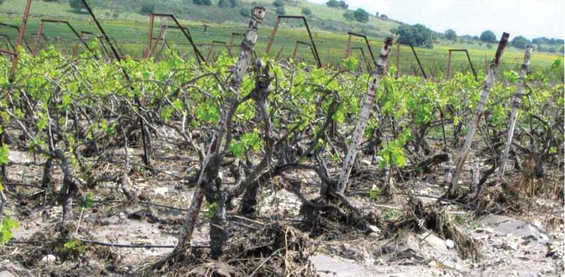 כרמי יין שניזוקו ממזג האוויר / צילום: אורון שמאי, קנט - הקרן לנזקי טבע בחקלאות