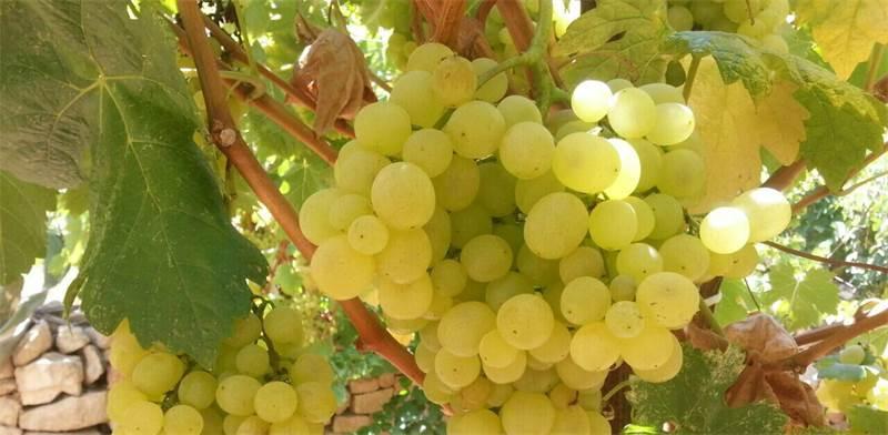 ענבים בשומרון. באזור מייצרים מגוון יינות/צילום: דוברות אוניברסיטת אריאל