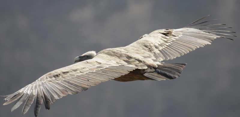 נשר בגולן  / צילום: עידו שקד