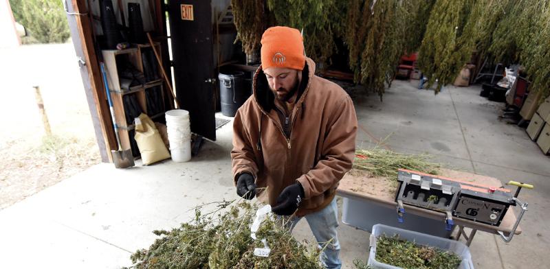 חקלאי בוחן שתילי קַנַבּוֹס, הצמח שממנו מופק קנאביס, לקראת הקציר / צילום: NICK OXFORD, רויטרס