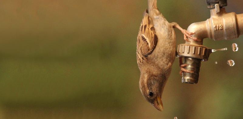 ציפור הדרור הנמצאת בירידה חדה / צילום: דורון שחם מרכוס, הטכניון