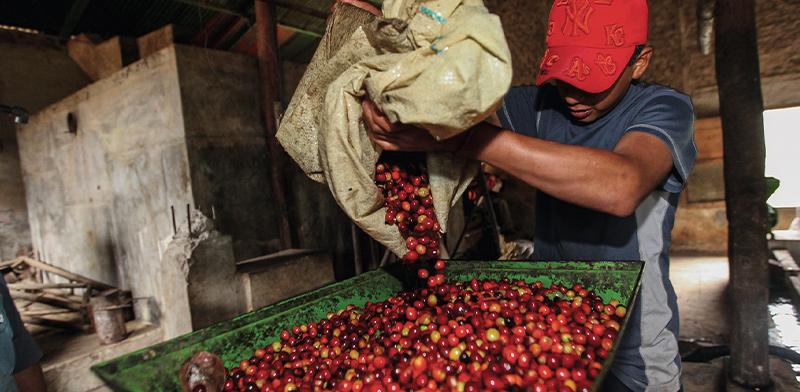 עיבוד פולי קפה בפרו. הכלכלה נסמכת על סחורות וכפועל יוצא על מחירי סחורות / צילום: Shutterstock