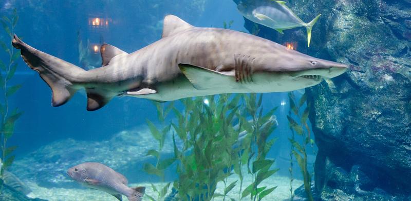 כרישים / צילום: shutterstock
