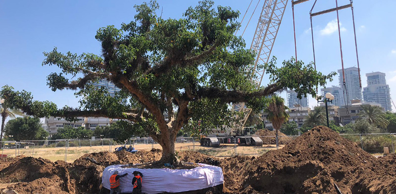 Tree transplanting in Kikar Hamedina, Tel Aviv / Photo: Shai Tsabari