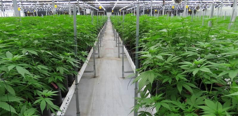 Cannabis greenhouse Photo: PR