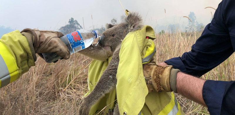 קואלה מחולצת מהשריפה / צילום: רויטרס - Paul Sudmals