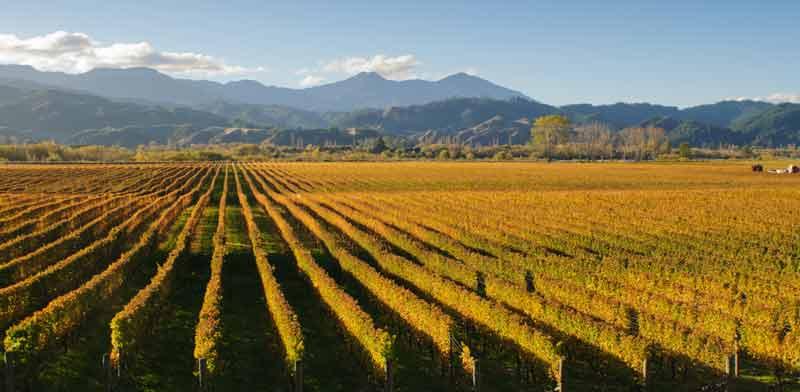 כרמים במחוז מרלבורו. עמק הלואר של ניו זילנד  /  צילום: Shutterstock | א.ס.א.פ קריאייטיב