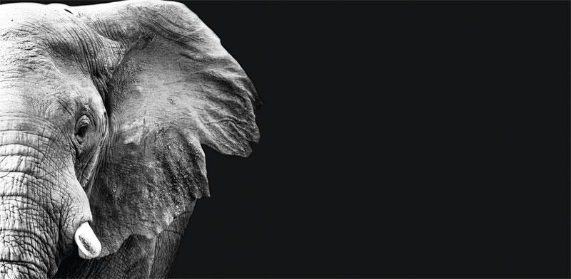 פיל שחור / צילום: Shutterstock א.ס.א.פ קריאייטיב