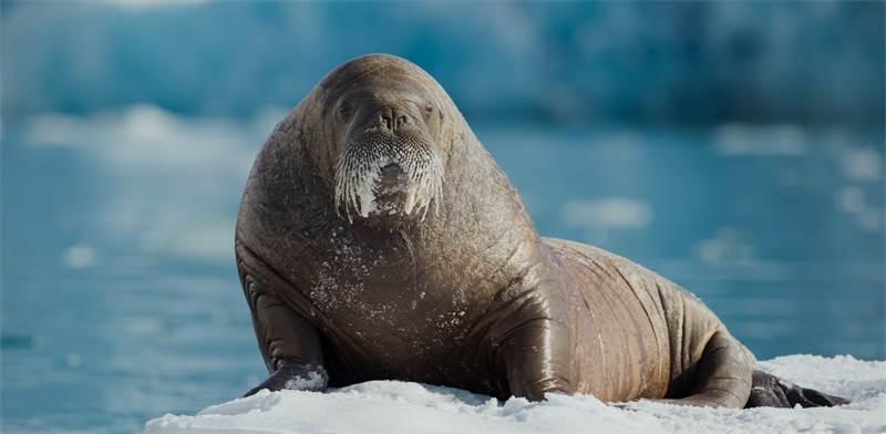 ניבתן על משטח קרח בסוואלברד. 2 מתוך 3 תת-המינים נמצאים בסיכון גבוה להכחדה / צילום: Denis Sinyakov, גרינפיס
