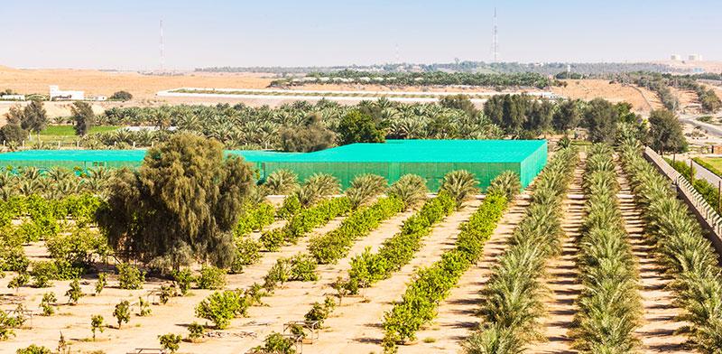 חוות גידול שממוקמת בין הדיונות של אל עין, אבו דאבי / צילום: shutterstock, שאטרסטוק