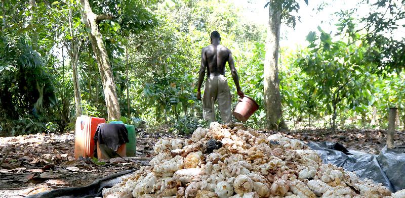 חוות קקאו בחוף השנהב / צילום: Luc Gnago, רויטרס