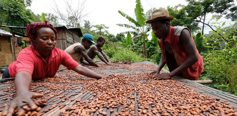מיון פולי קקאו בגאנה / צילום: Thierry Gouegnon, רויטרס