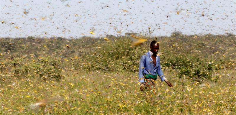 אדם משבט הסמבורו בקניה הולך בשדה שמלא בארבה / צילום: NJERI MWANGI, רויטרס