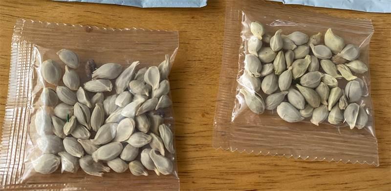 """חבילות זרעים מסתוריות שהגיעו לדואר ארה""""ב מסין / צילום: Washington State Department of Agriculture, רויטרס"""