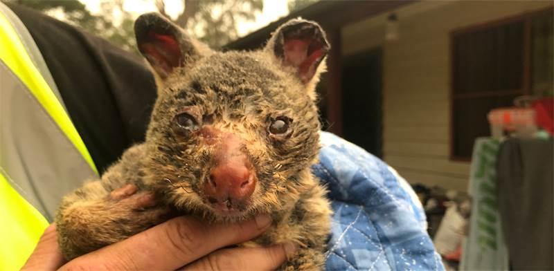 פוסום שנפגע בשריפה באוסטרליה / צילום: רויטרס