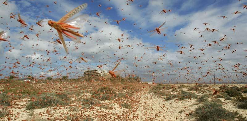 נחיל ארבה באיים הקנריים, ספרד / צילום: רויטרס - Juan Medina