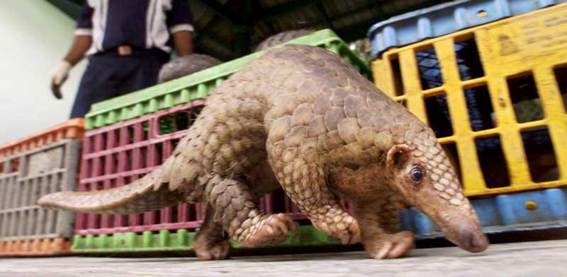 דוב נמלים מסוג פנגולין. הנגיף הגיע ממנו? צילום: רויטרס