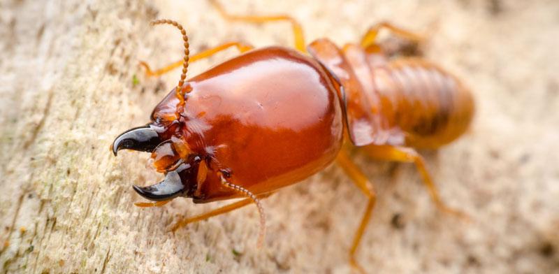 Formosal termite